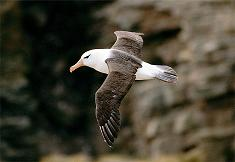 black-browed-albatross_s.JPG