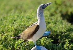 blue-footed-booby_s.JPG